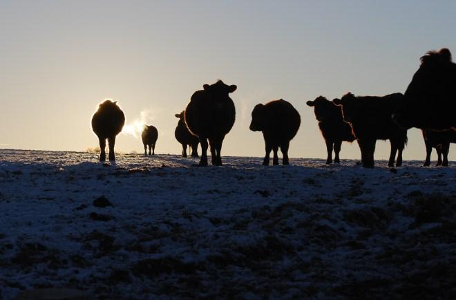 cow shadows
