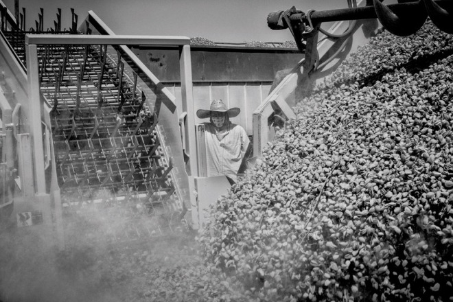 A worker watches an almond harvesting machine dump harvest nuts near the town of Kerman in California's Central Valley.