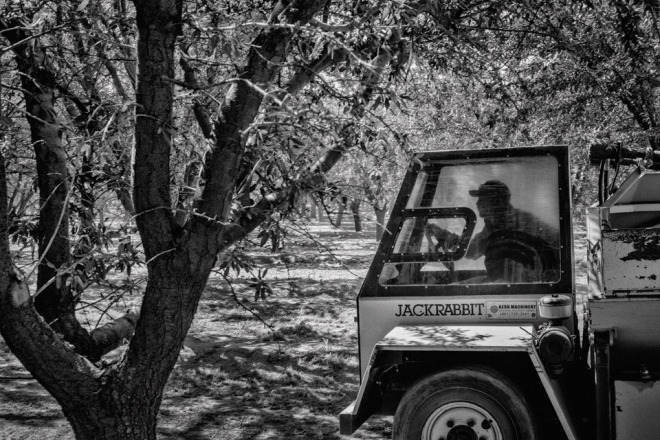 A worker drives an almond harvesting machine in an orchard near the town of Kerman in California's Central Valley.