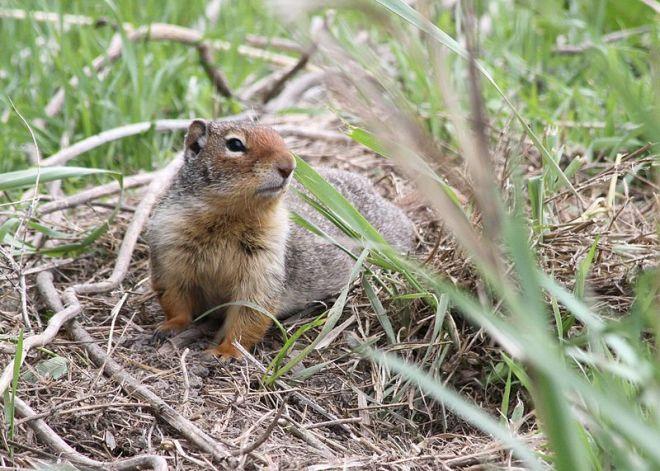 Belding's_Ground_Squirrel_ODFW_Oregon