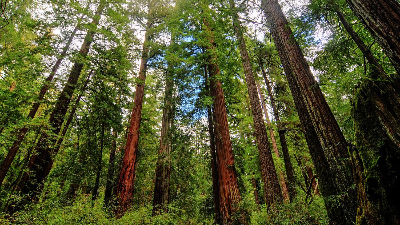 California Shrinking Trees