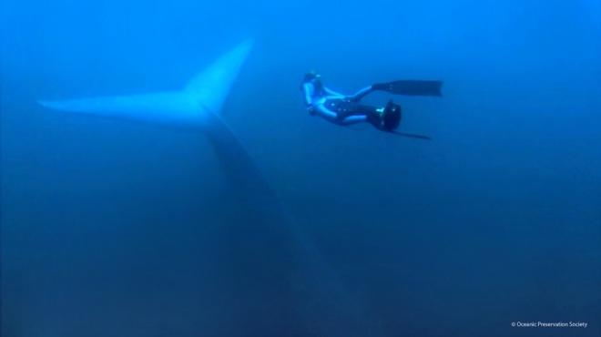 freediver_with_bluewhale