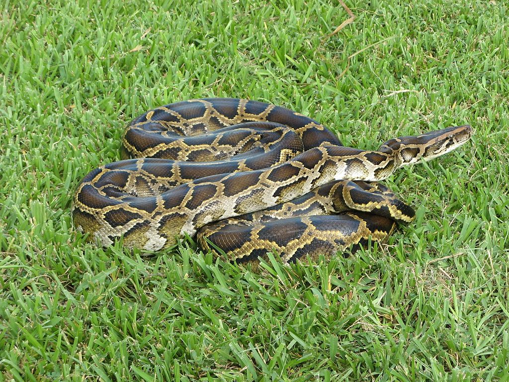 Burmese python in Everglades National Park