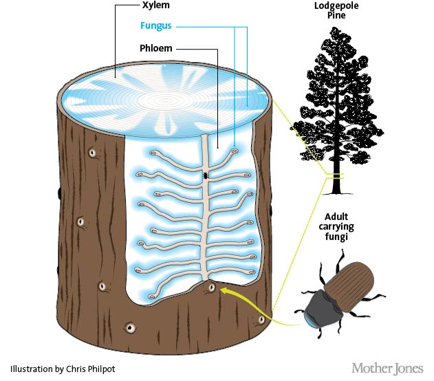 An adult mountain pine beetle lays her eggs under the bark. On her way, she disperses fungi that turn the trees' tissue into food for her babies, eventually killing the tree.