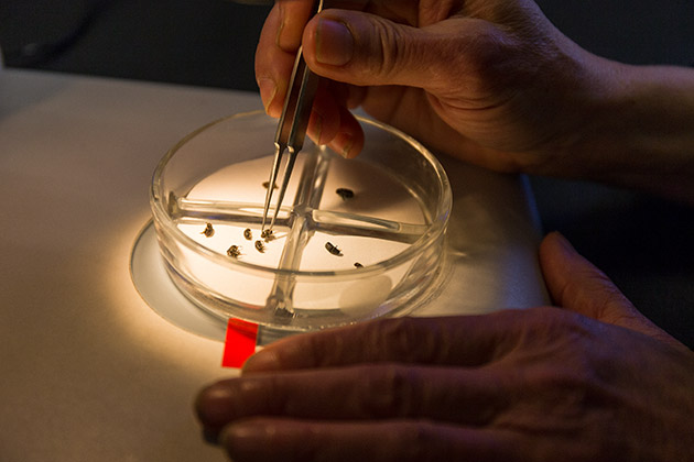 Under the microscope, Diana Six picks up a dead mountain pine beetle in her Missoula lab.