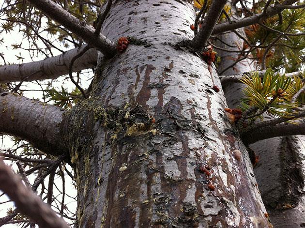 Signs of beetle invasion on a whitebark pine tree in Montana's Big Hole Valley.