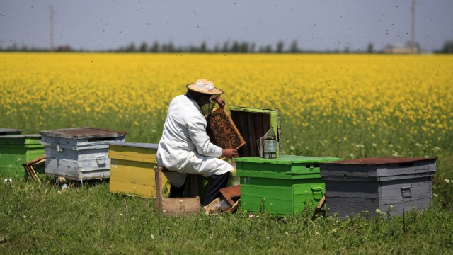A beekeeper takes care of his hives in a field of rapeseed on the outskirts of Deveselu village