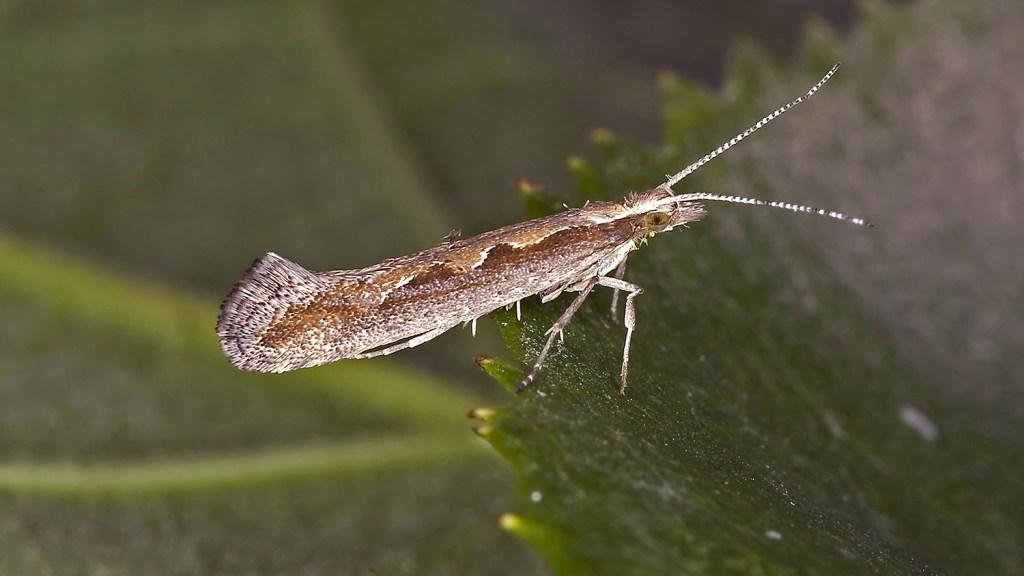 An evil Diamondback Moth