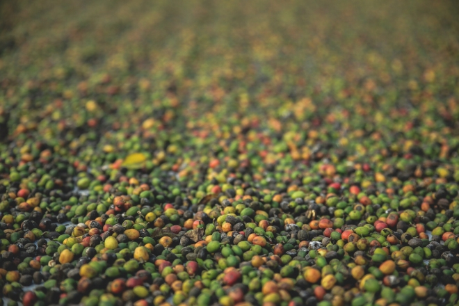 Freshly picked coffee cherries await processing in Antigua, Guatemala