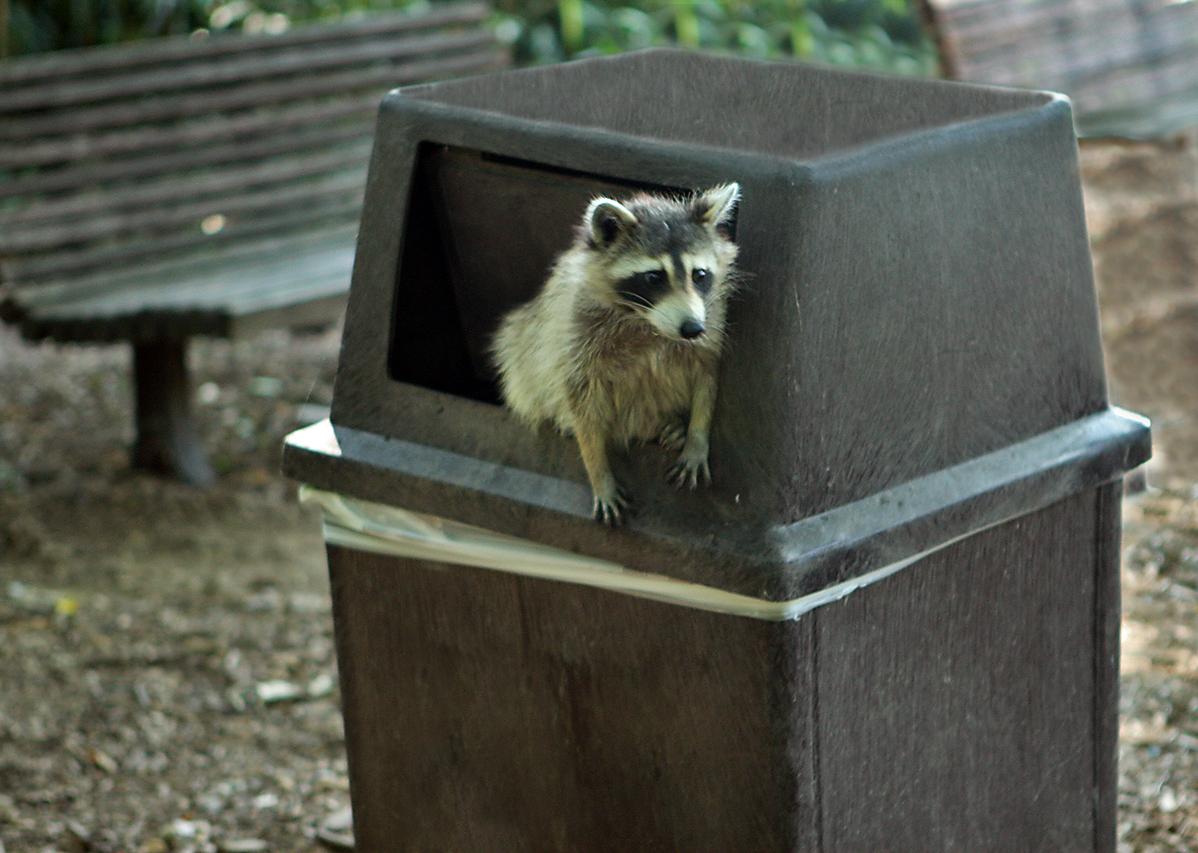 Raccoon_getting_in_trouble