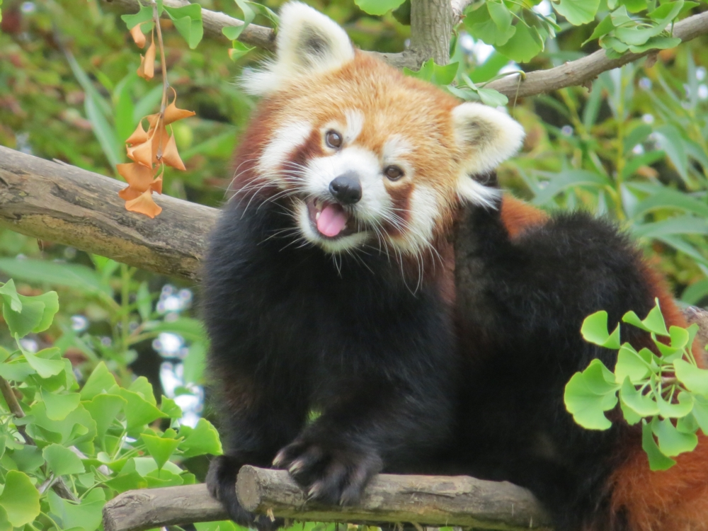 Red_Panda_in_a_Gingko_tree