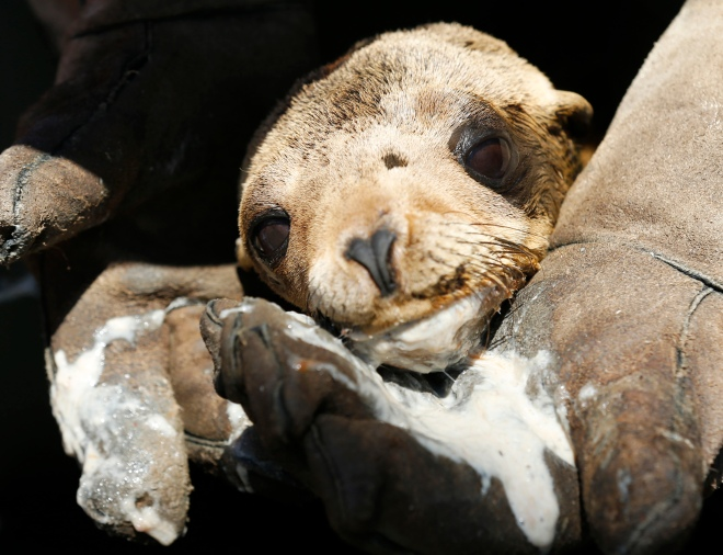 After being tube fed a mixture of food and water, a malnourished sea lion pup rests in the arms of an animal care specialist at Sea World in San Diego, Calif.
