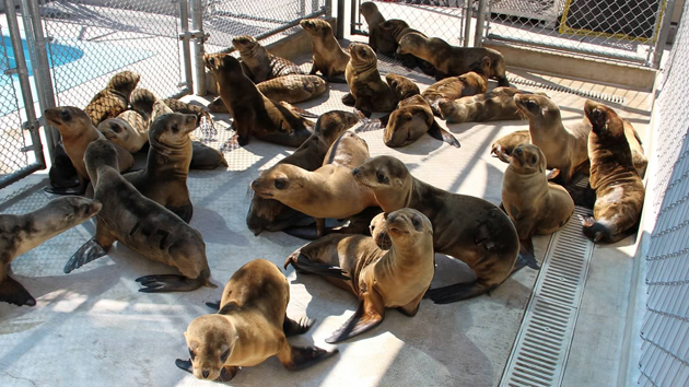 Sea lions in rehab at the Pacific Marine Mammal Center in Laguna Beach, Calif.