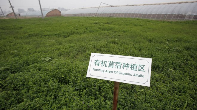 Alfalfa is one of the legumes that harbors nitrogen-fixing bacteria
