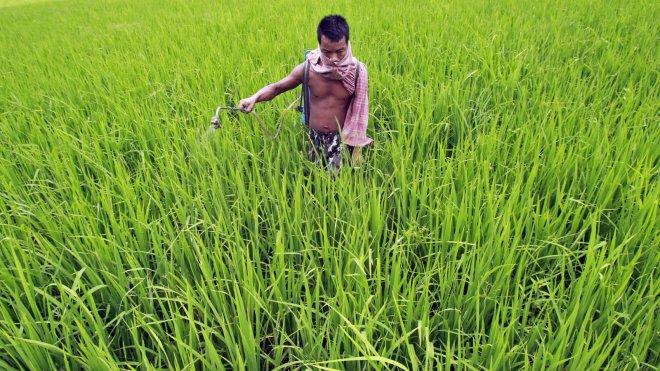 Fertilizing rice in Agartala, India