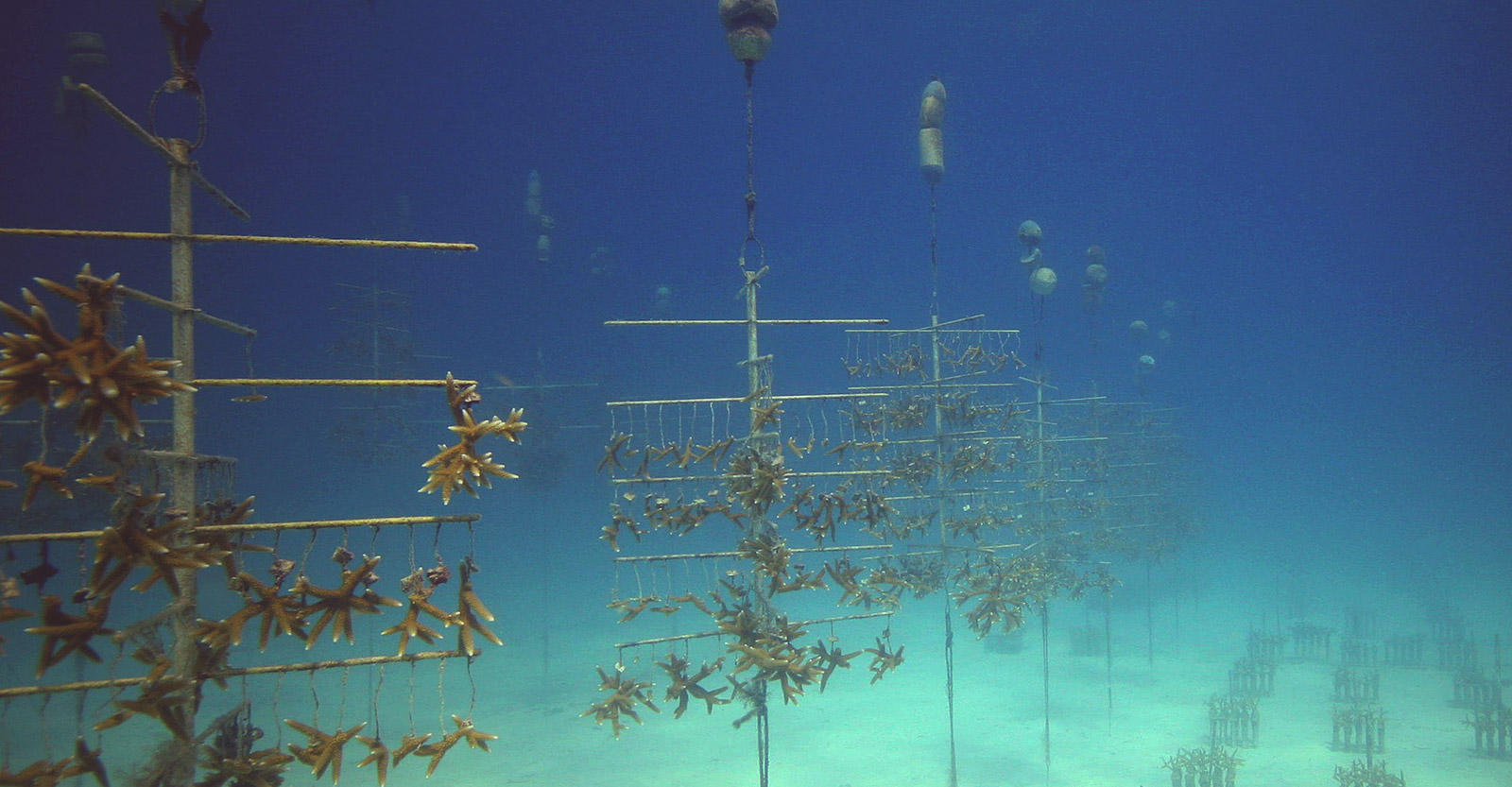 """The Coral Restoration Foundation's nursery is made up of PVC-pipe """"trees"""" where corals grow quickly in the nutrient-rich current."""