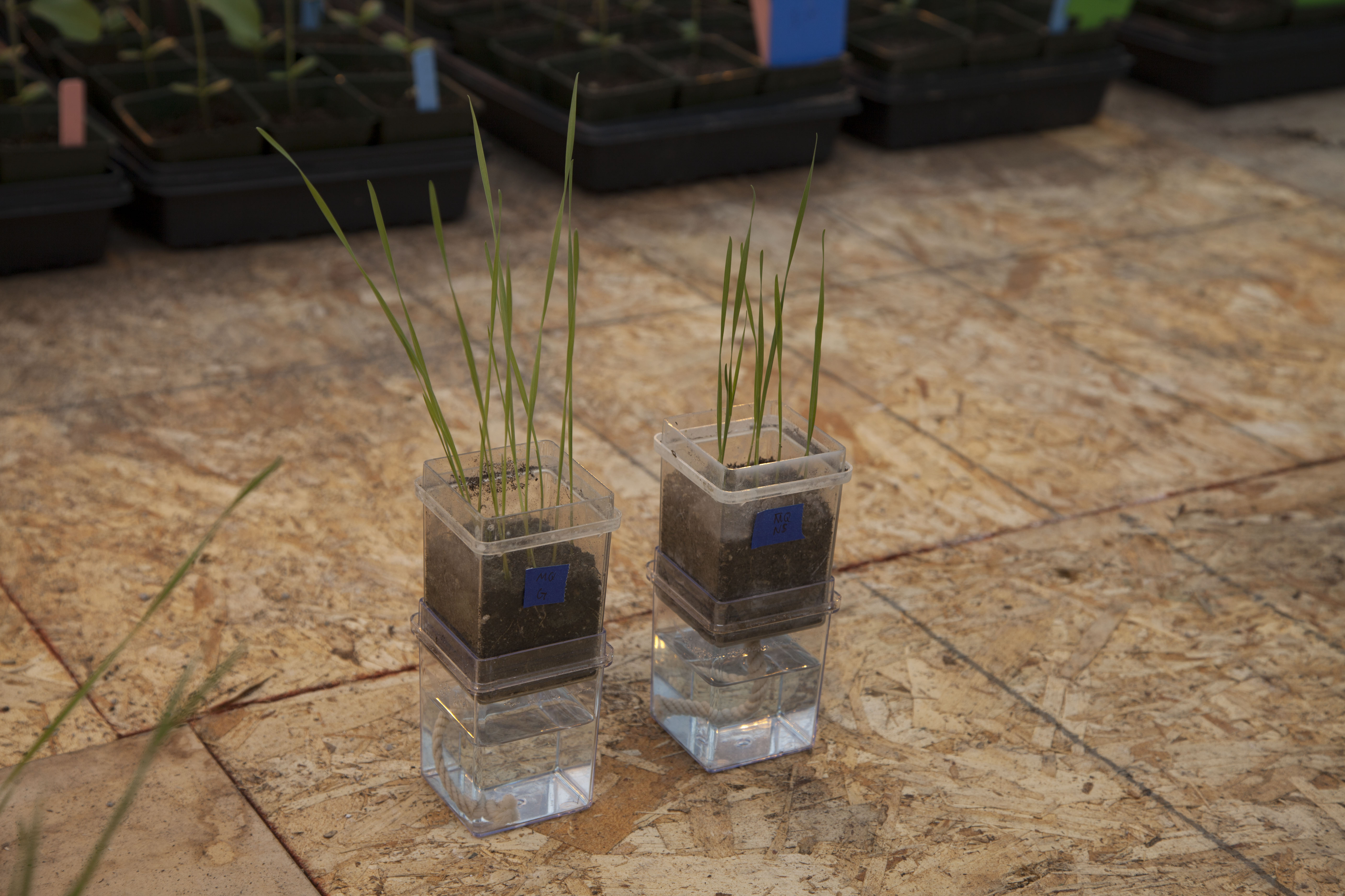 Rice plants treated with endophytes (left) show more biomass growth than untreated plants (right).
