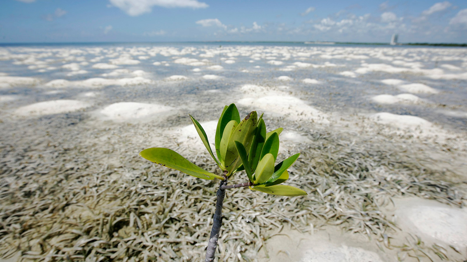 A mangrove plant grows on a shore in Cancun