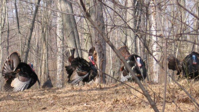 Wild turkeys in New Jersey