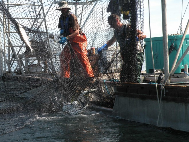 Fishermen haul-in the net to gather salmon in a corner pocket.