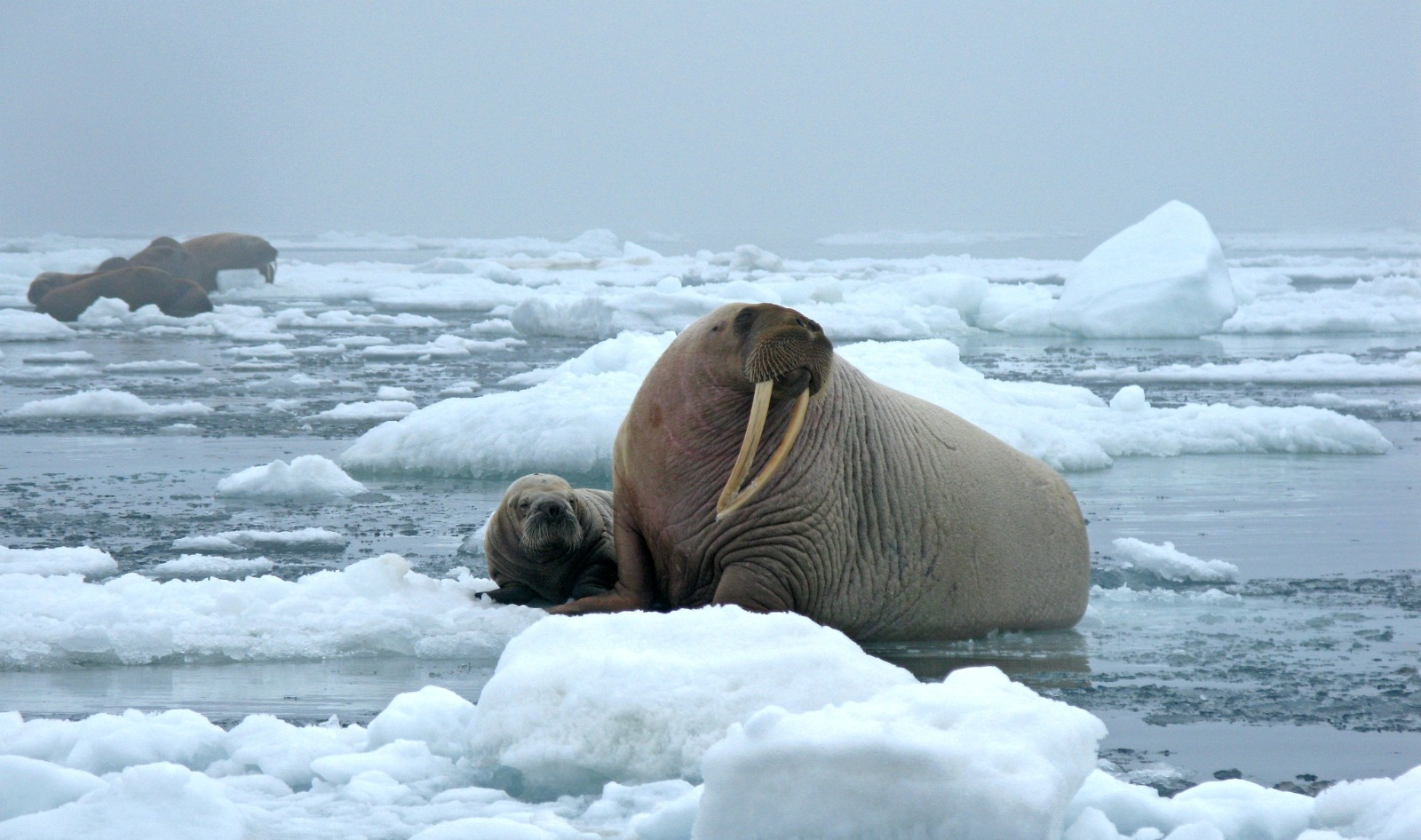 A Pacific walrus and her pup rest on an ice floe in the Arctic.