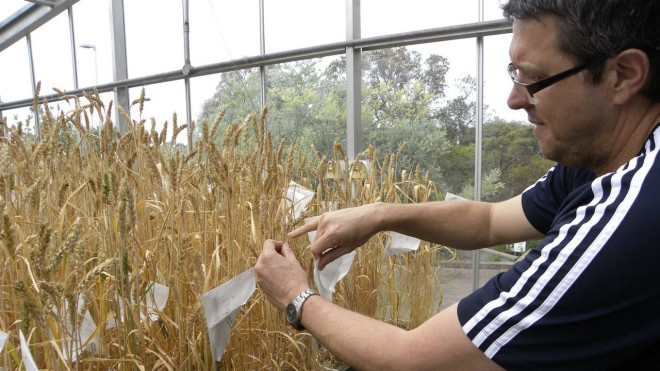CSIRO wheat breeder Greg Rebetzke works on climate-ready crops at a laboratory in the Canberra, Australia. Inside, hundreds of seedlings on a conveyor belt file through a high-tech chamber, each plant bar-coded and scanned for signs of genetic superiority.