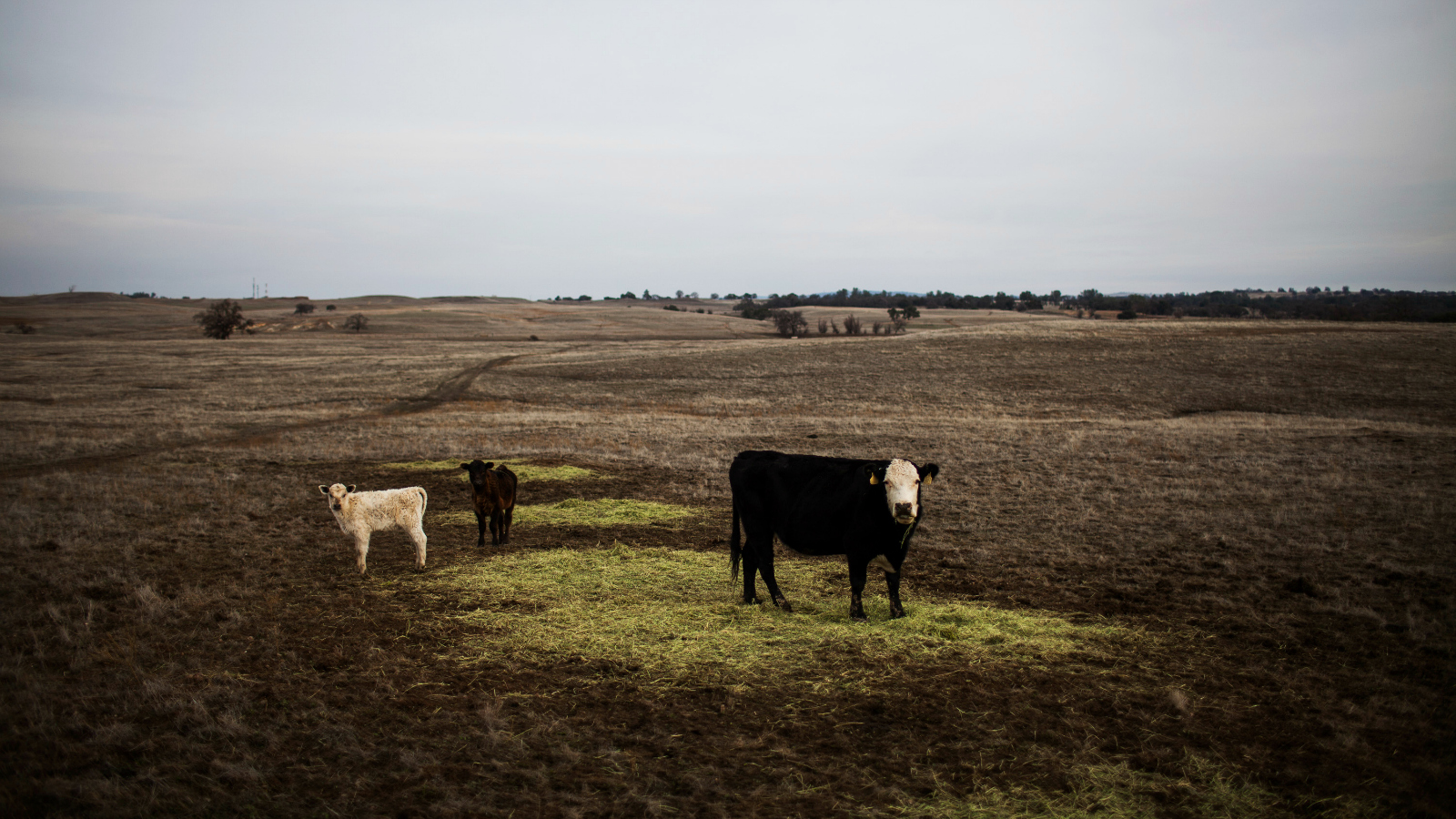 cattle on denuded land
