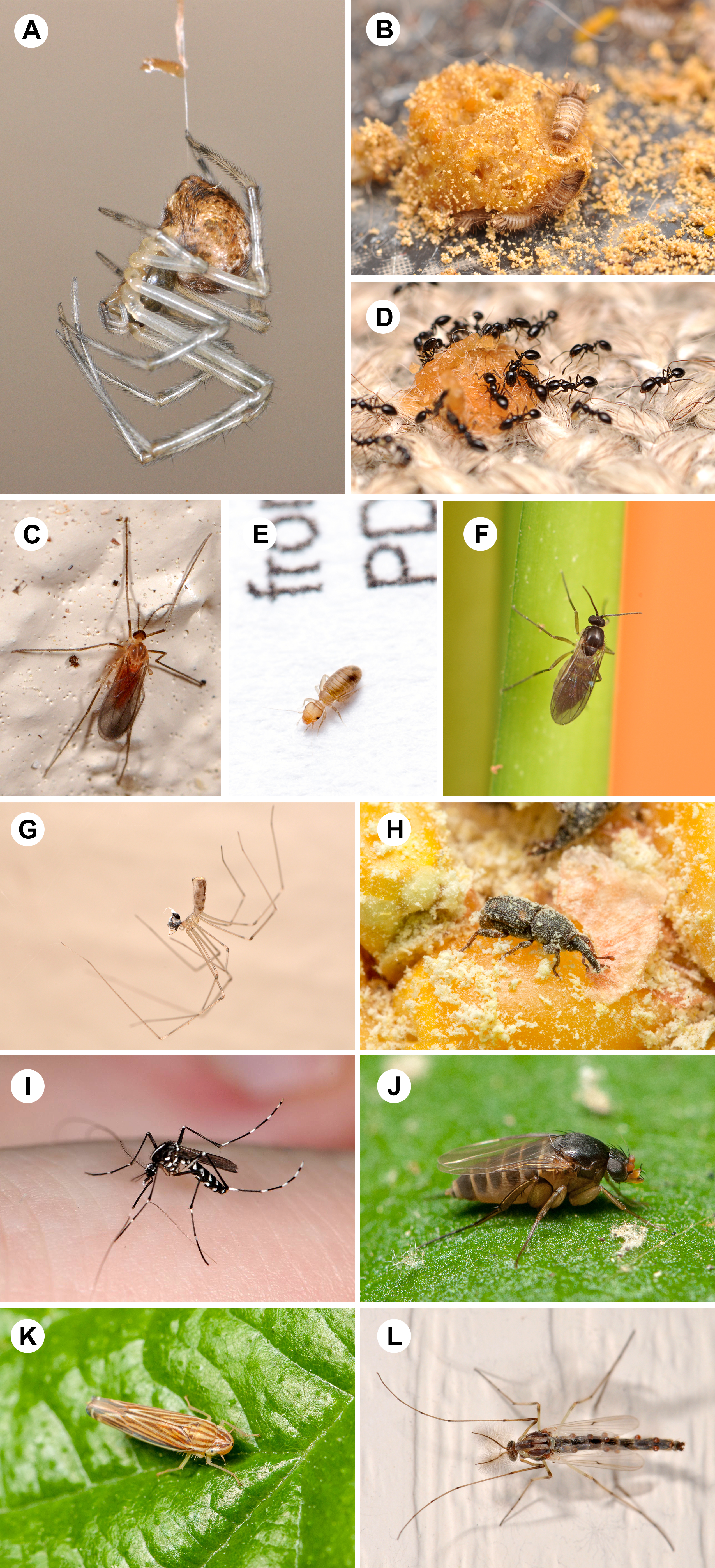 (A) cobweb spiders, 100%; (B) carpet beetles, 100%; (C) gall midges, 100%; (D) ants, 100%; (E) book lice, 98%; (F) dark-winged fungus gnats, 96%; (G) cellar spiders, 84%; (H) weevils, 82%; (I) mosquitoes, 82%; (J) scuttle flies, 82%; (K) leafhoppers, 82%; (L) non-biting midges, 80%.