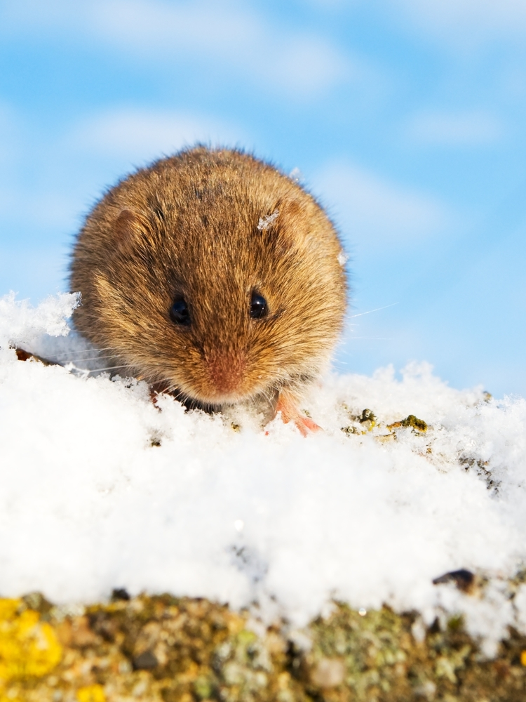 Voles tunnel through topsoil and leaf litter under the snow in search of berries, nuts, and insects during the winter.