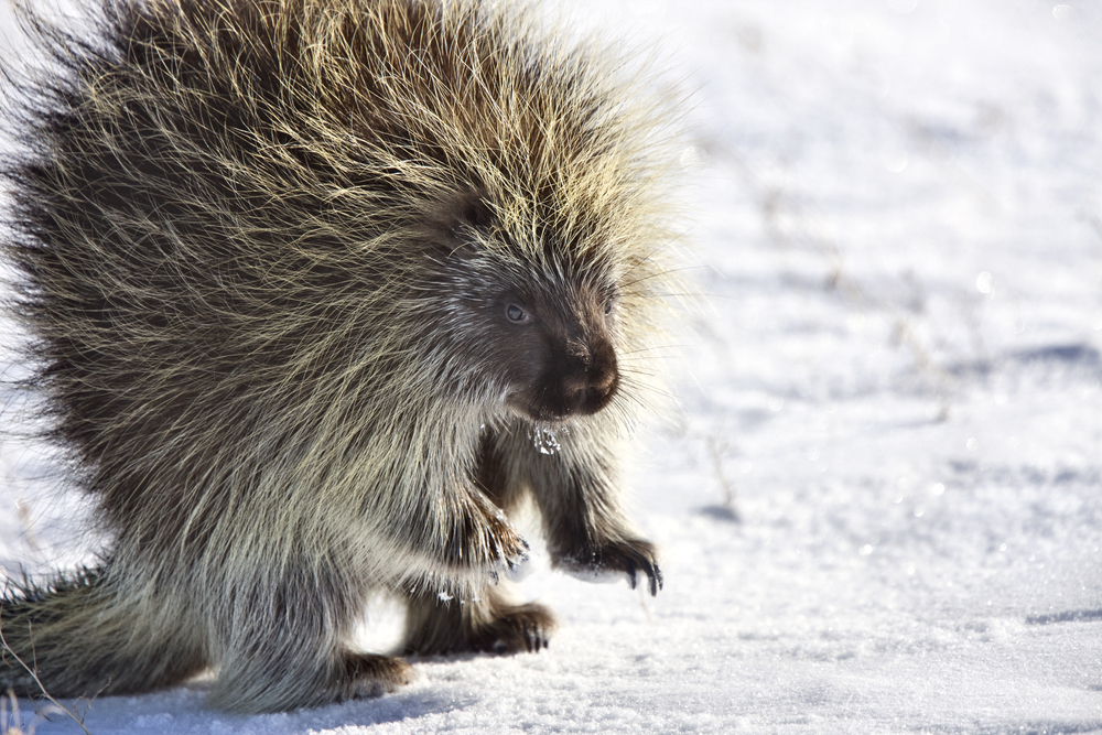 Porcupines sleep in dens under the snow during winter.