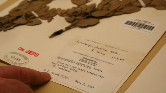 A manzanita specimen from 1936 housed at the University and Jepson Herbaria at the University of California, Berkeley.
