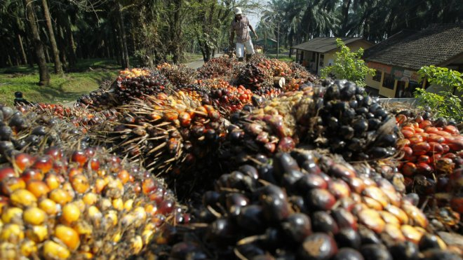 Indonesia oil palm fruit