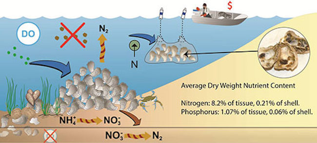 Natural reef and aquaculture oysters act as natural filters to reduce nitrogen, phosphorus, and sediment levels in the water column.