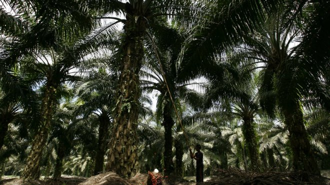Palm oil harvest Indonesia