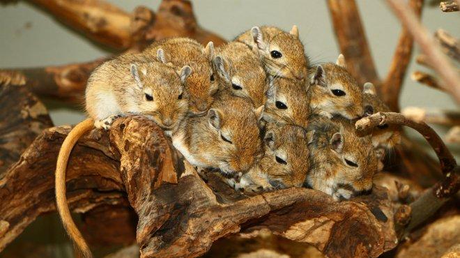 Mongolian gerbils