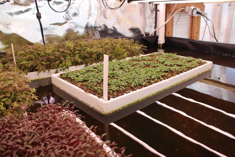 The plants are suspended in floating, styrofoam containers over the fertilizer- and nutrient-rich water.