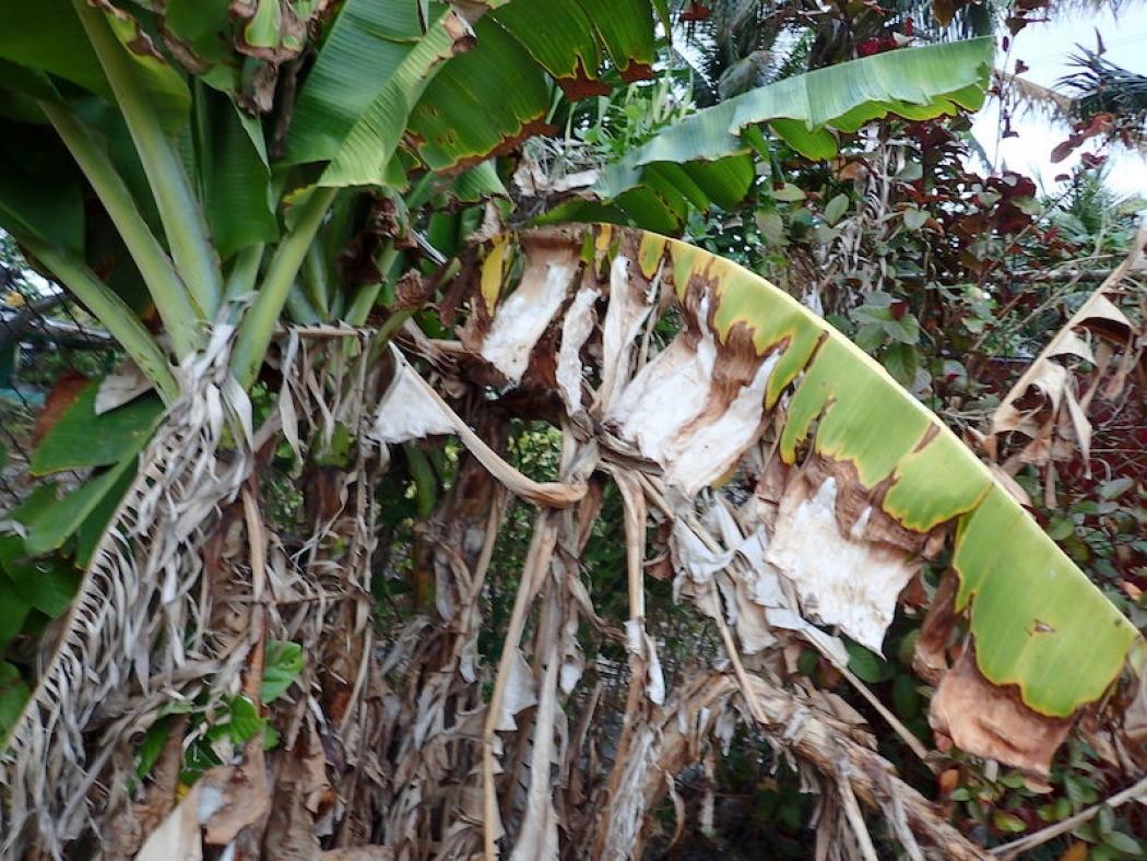 Dried vegetation on Majuro.