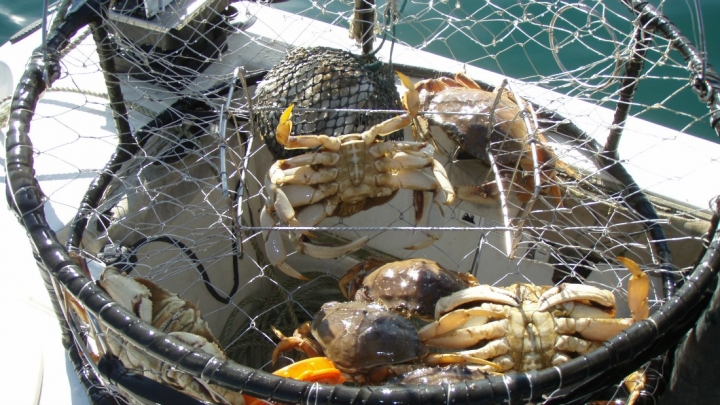Dungeness crabs caught off California.