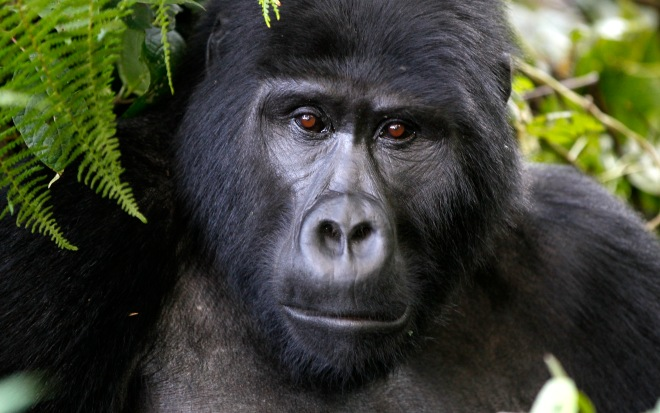 An endangered mountain gorilla from the Bitukura family, is seen inside a forest in Bwindi Impenetrable National Park in the Ruhija sector of the park, about 550 km (341 miles) west of Uganda's capital Kampala, May 24, 2013. Bwindi Impenetrable Forest borders the Democratic Republic of Congo and Rwanda. The total population of mountain gorillas worldwide is estimated at 880, half of which are to be found in Uganda's Bwindi forest. REUTERS/Thomas Mukoya (UGANDA - Tags: SOCIETY ANIMALS ENVIRONMENT) - RTXZZLA