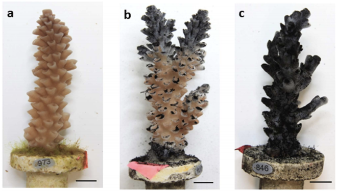 Stages of coral health degradation after 14 d exposure to coal dust.