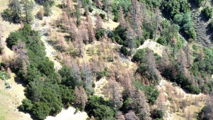 Dead pines photographed during an aerial survey last year in Los Padres National Forest.