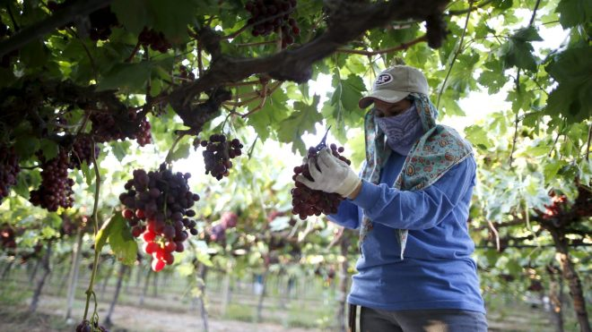 A farm worker picks table grapes in Maricopa