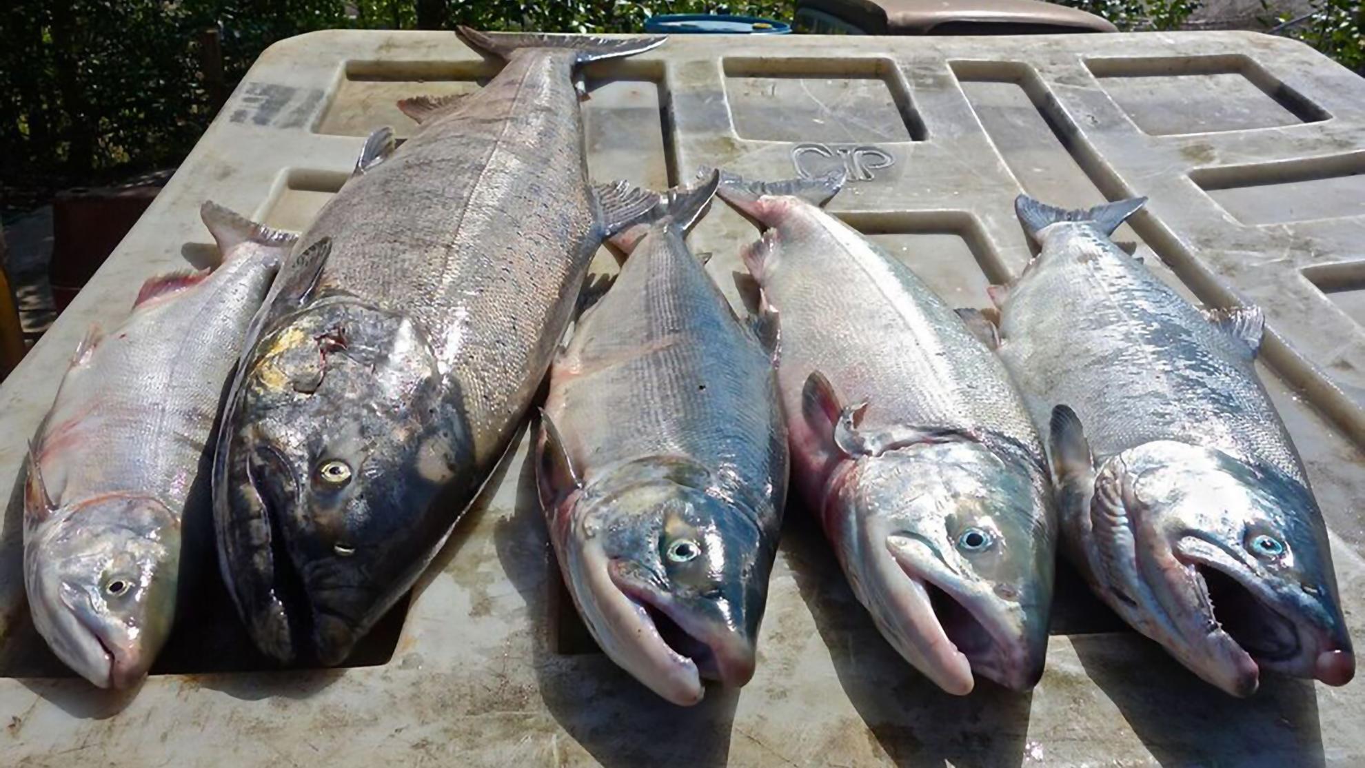 salmon chuitna coal