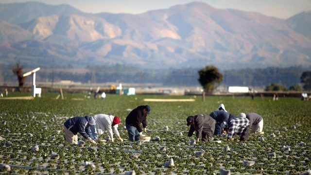 Farm workers collect strawberries in a California field.
