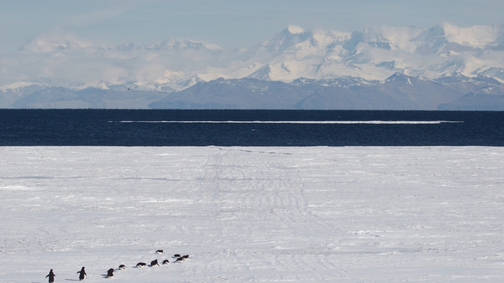 Adelie penguin convoy in Ross Sea, Antarctica -- now the largest protected area in the world.