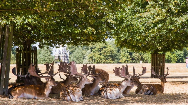 During the 2018 summer heatwave fallow deer sit in shade under trees surrounded by brown grass in one of south west London's parks