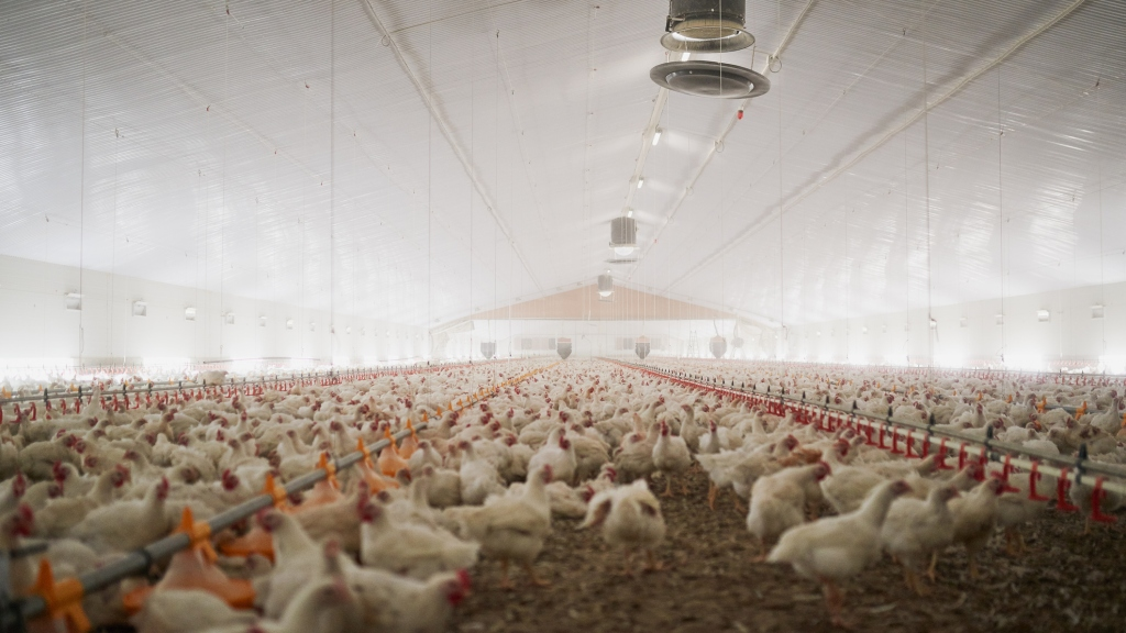 Shot of a large flock of chicken hens all together in a big warehouse on a farm
