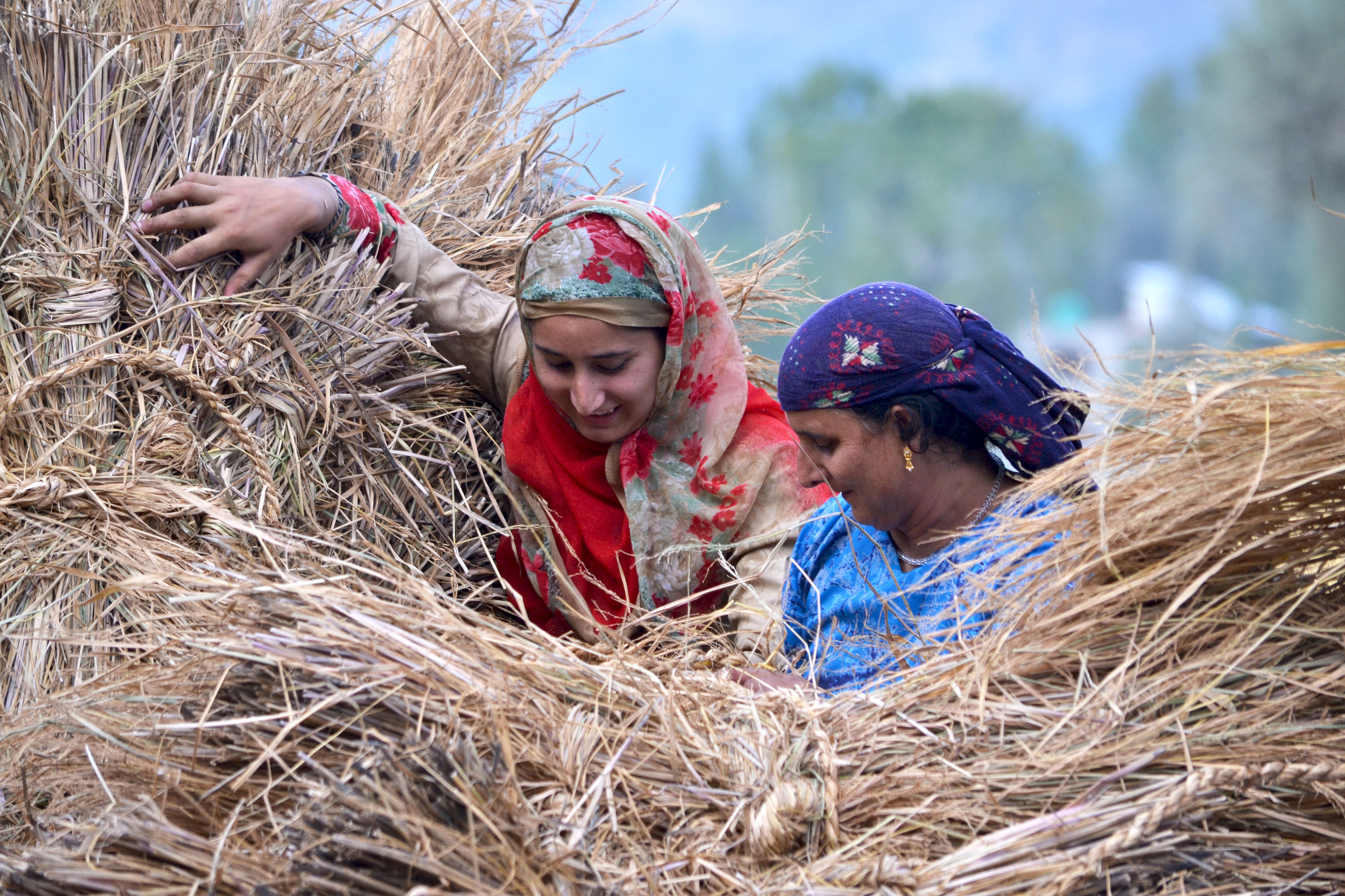 Kashmiri women farmers carry lumps of grass during harvesting of rice, in the outskirts of Srinagar, the summer capital of Indian administered Kashmir.