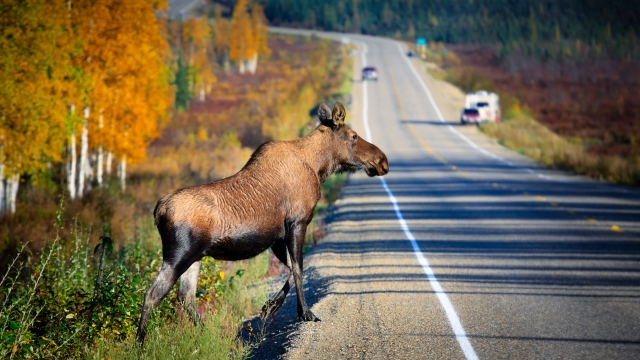 A moose crosses the highway