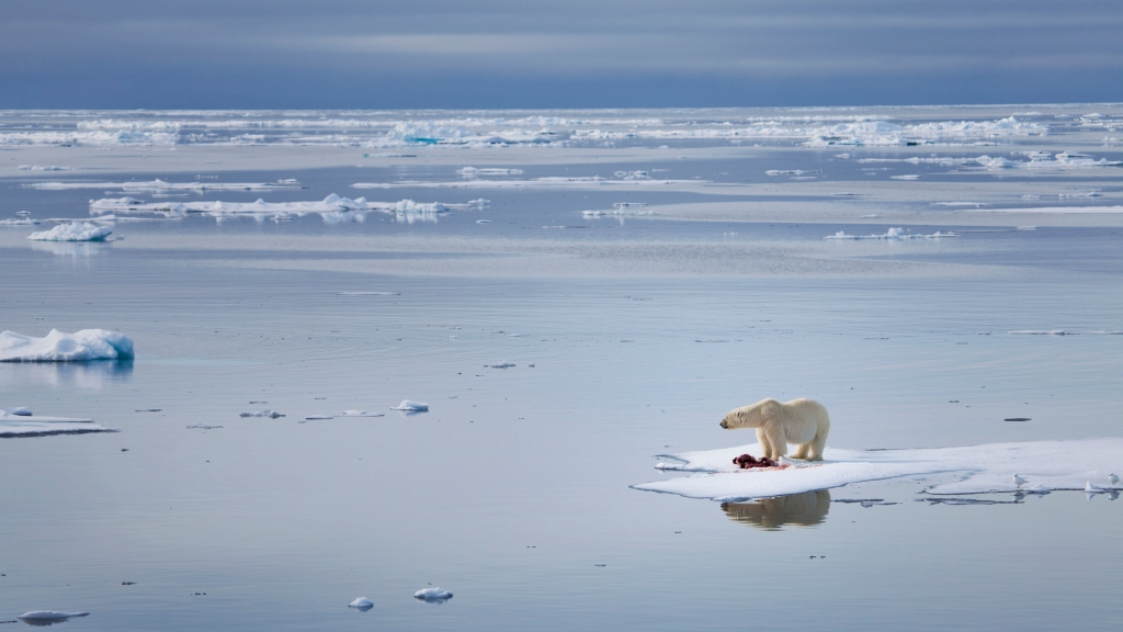 A large male polar bear stands on an ice float, surrounded by water.